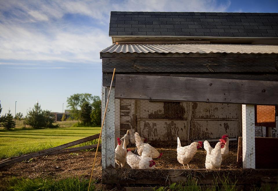 Quelques conseils pour se lancer dans l'élevage de poules pondeuses